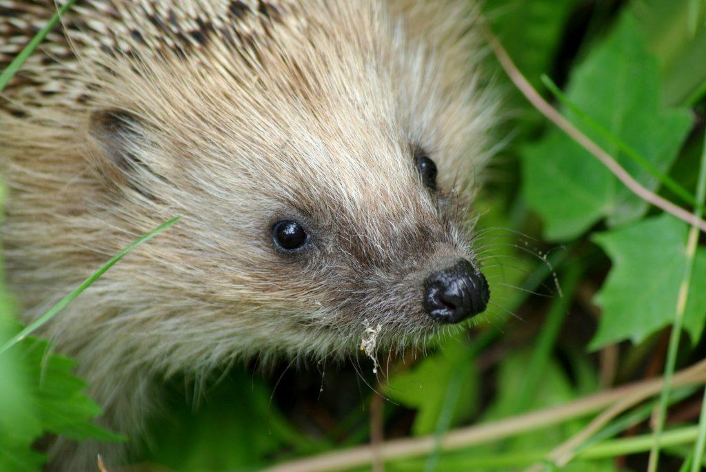 young hedgehog in vegetation